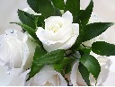 rosesmorguefile0001496805527-whitesingle-small.jpg